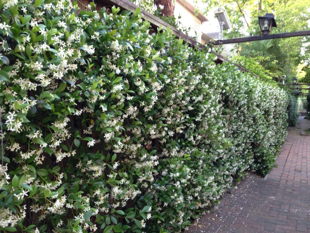 Jasminum officinale jasmine ust medicinal garden httpsorganicfactshealth benefitsessential oilshealth benefits of jasmine essential oilml izmirmasajfo